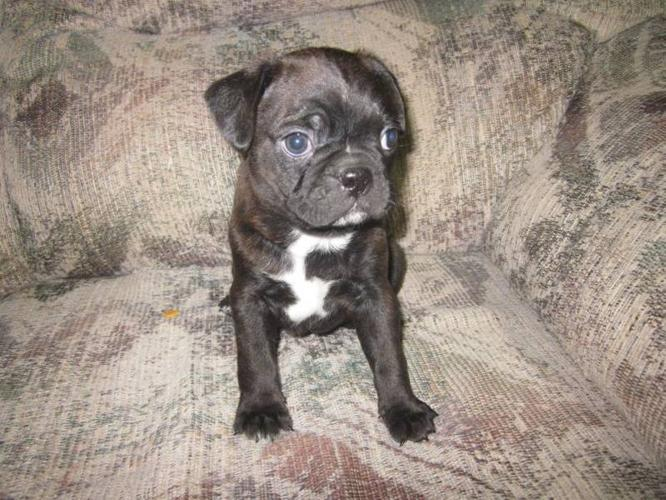 Boston Terrier Pug Puppies For Sale For Sale In Marwayne Alberta