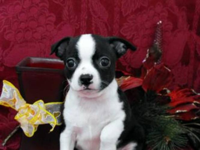 Boston Terrier x Chihuahua: Beautiful Markings