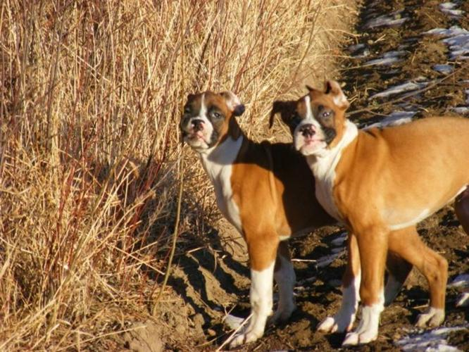 Boxer Puppies-Lowered To Sell