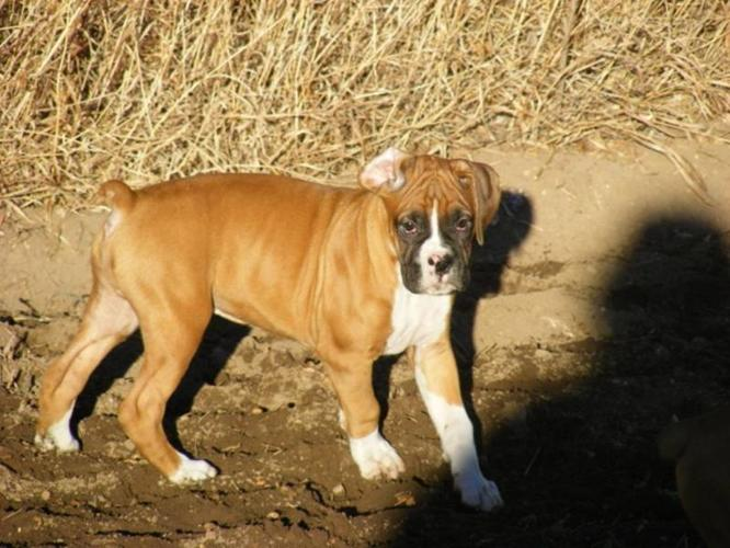 Boxer Puppies-Priced to Sell