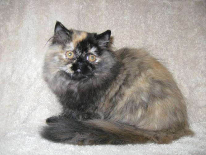 CFA registered Persian pet quality kitten