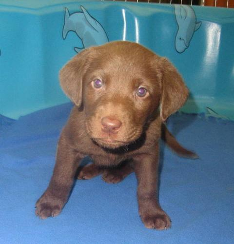 CHESAPEAKE BAY RETRIEVER PUPPIES---Ready to go!!---