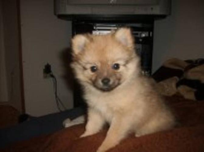 CHI - POM PUPS FOR SALE