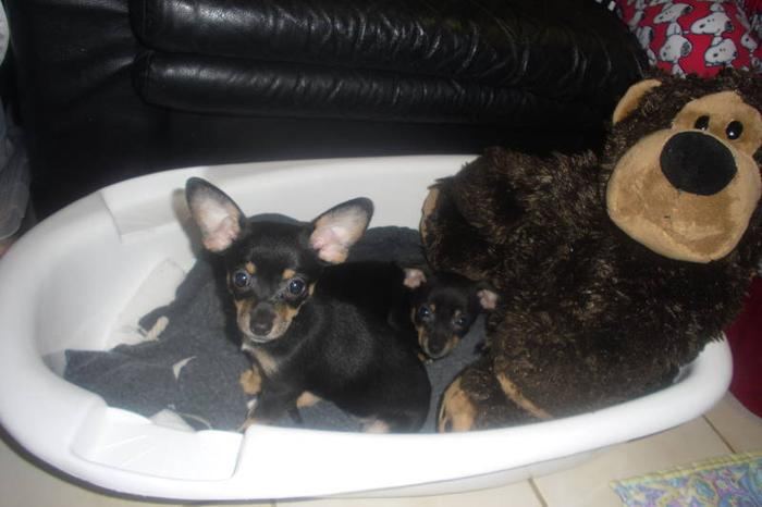 Chihuahua Puppies for Sale (1 male & 1 female)!!!