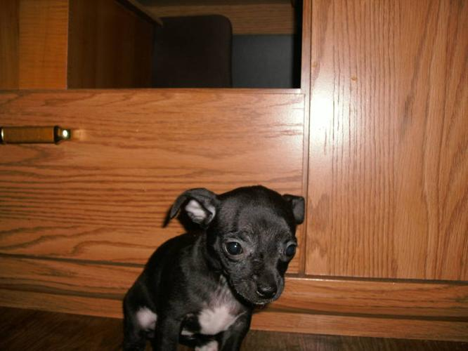 chihuahua puppies MUST SEE!!