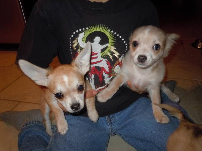 Chihuahua puppies wanting child for xmas