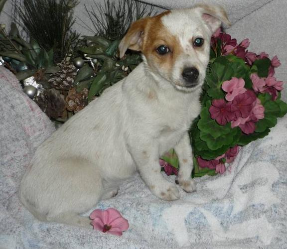 Chihuahua x Terrier puppy last female left! 1st shots vet papers