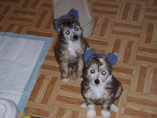 Chinese Crested Powder Puff Puppies-NEW PRICE