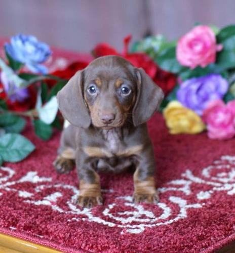 Chocolate and Tan Female Dachshund for sale
