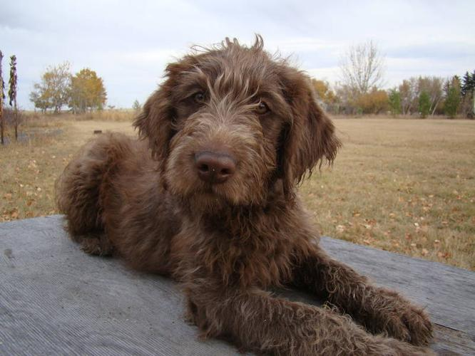 Chocolate F1 Labradoodle Puppies One Little Girl Left For Sale In
