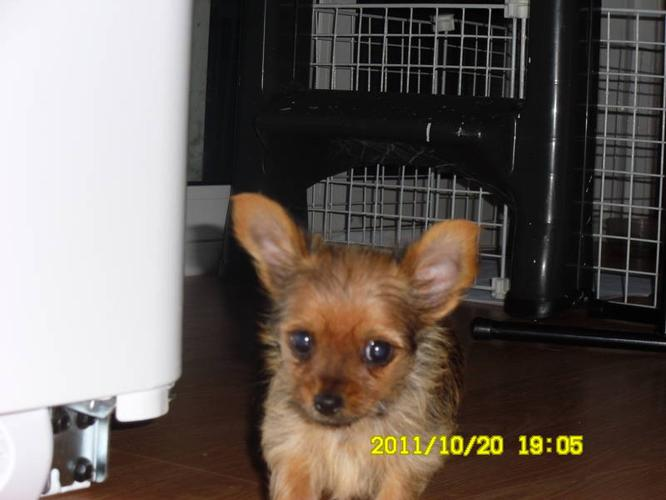 CHORKIE PUPPIES FOR SALE for sale in Echo Bay, Ontario