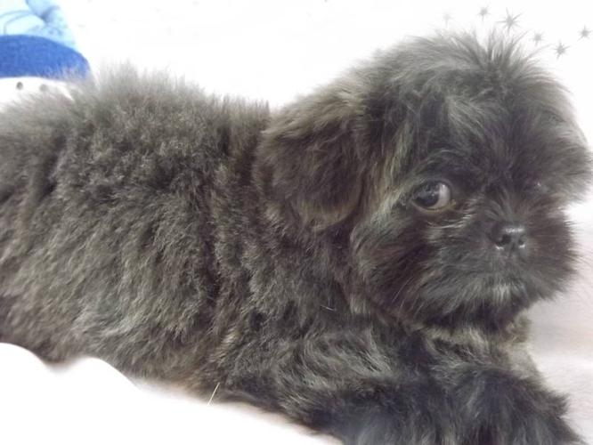 """CKC"" BLUE /M/ SHIH TZU for sale in Sherwood Park, Alberta ..."