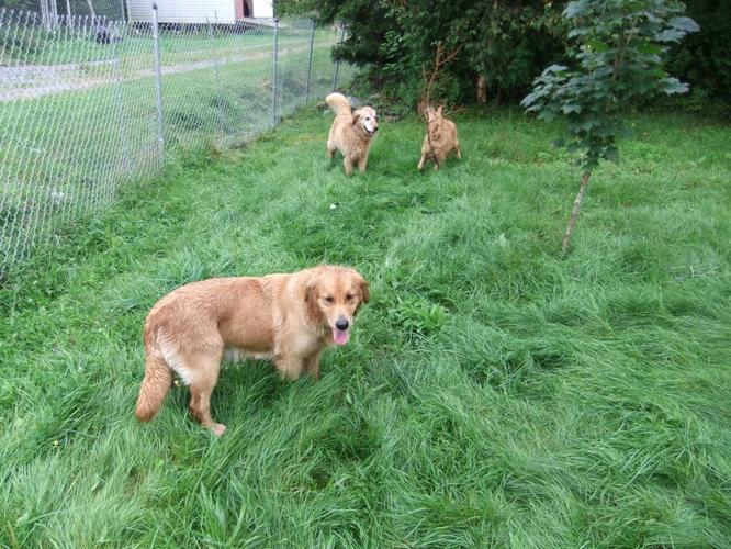 CKC Golden Retriever puppies