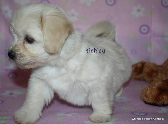 CKC Havanese Puppies available for veiwing in Grande