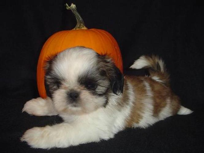 CKC Reg. Adorable Shih Tzu Pups Ready To Go This Weekend!