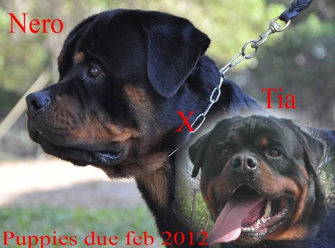 CKC reg German Rottweiler puppies ALL SOLD MORE IN JULY