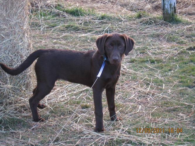 CKC Register Chocolate Labrador Retriever Pup