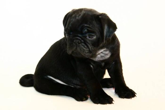 CKC Registered Black Male Pug Puppies ~ 2 yr Health Guarantee