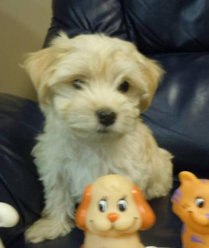 CKC registered Havanese puppies for sale in London, Ontario - Nice