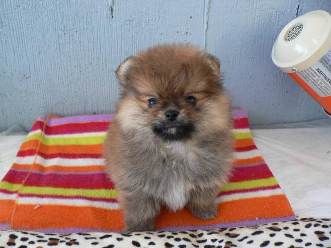 CKC Registered Male Pomeranian Puppy
