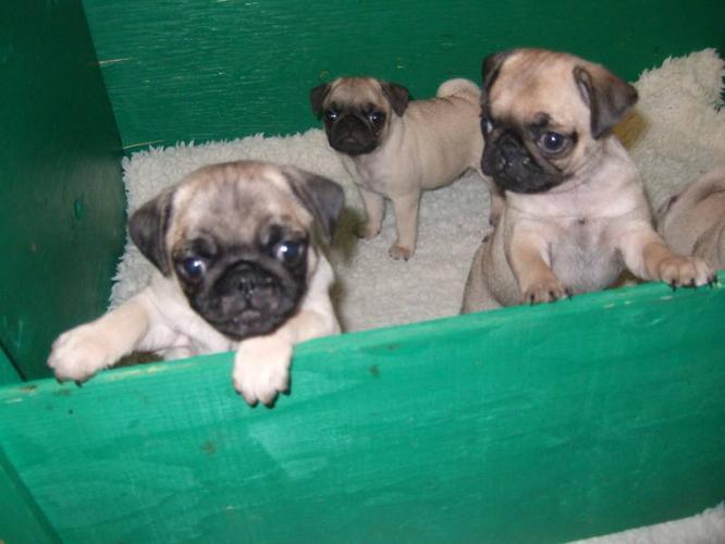 CKC- registered PUG puppies