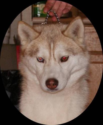 CKC Registered Siberian Husky