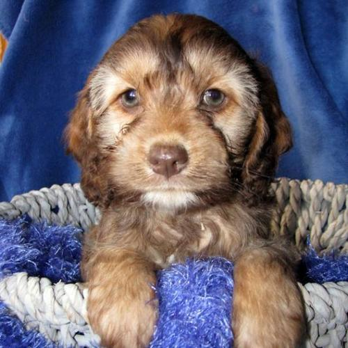 Cockapoo Puppies - different colours for sale in Ancaster