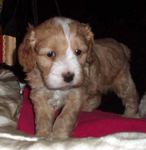 COCKAPOO PUPPIES for sale in North Vancouver, British Columbia
