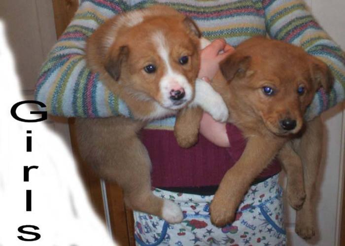 Collie x Lab Pups