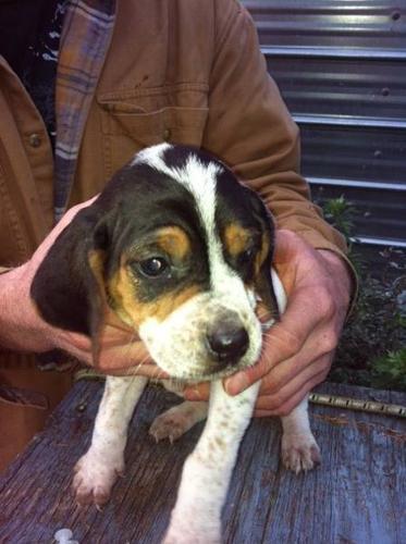 Coonhound puppies: Treeing walker/bluetick mix