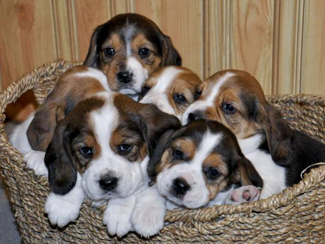 CUTE & PLAYFUL BEAGLE PUPPIES!