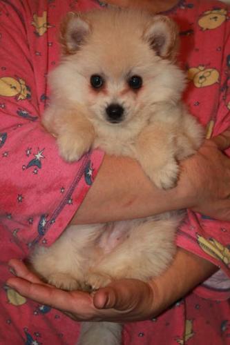 Cute Pomeranian puppies 2f 1 boy (PRICE DROP, MUST GO ASAP) $450