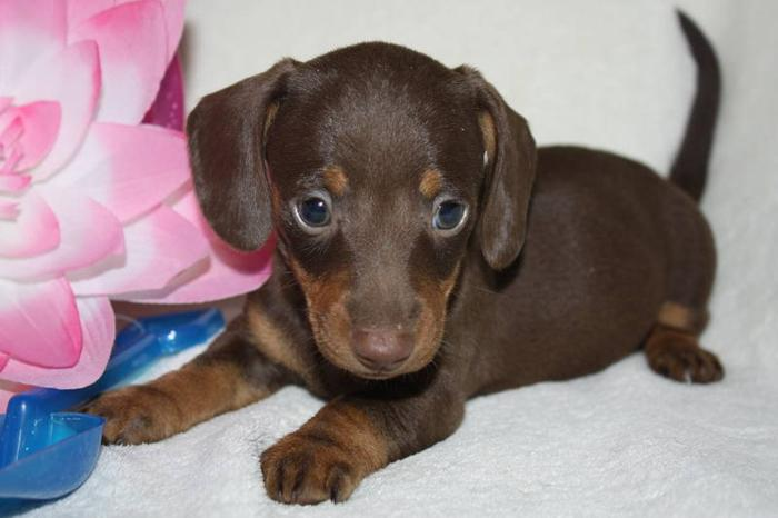 Dachshund Mini Smooth Pups Homeraised For Sale In Taber Alberta