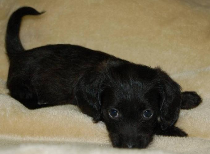 Dachshund Poodle Puppies