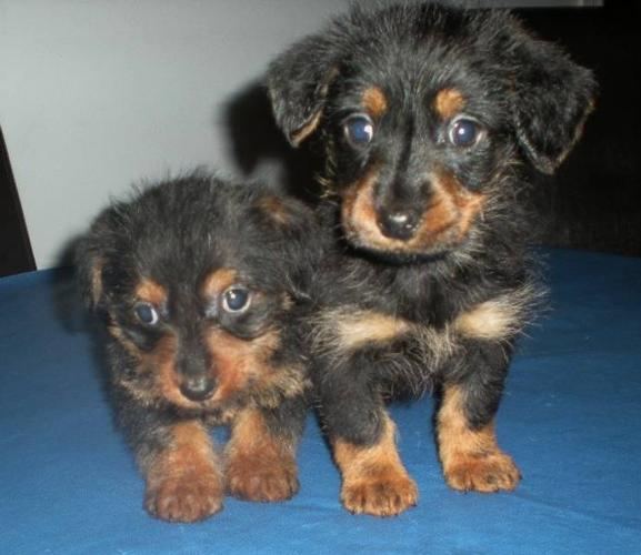 Dorkie Puppies, 2 males ready for a home