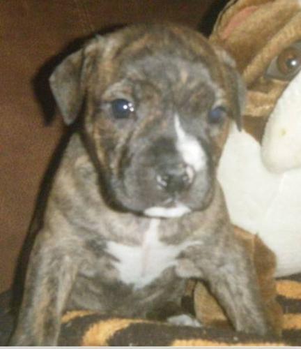 English Bulldog Cross Puppies 2 beautiful girls and 1 boy
