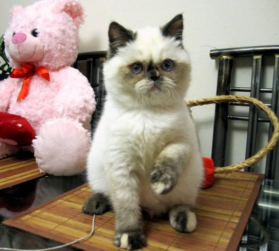 EXOTICS short hair, HIMALAYANS, PERSIANS kittens CFA registered