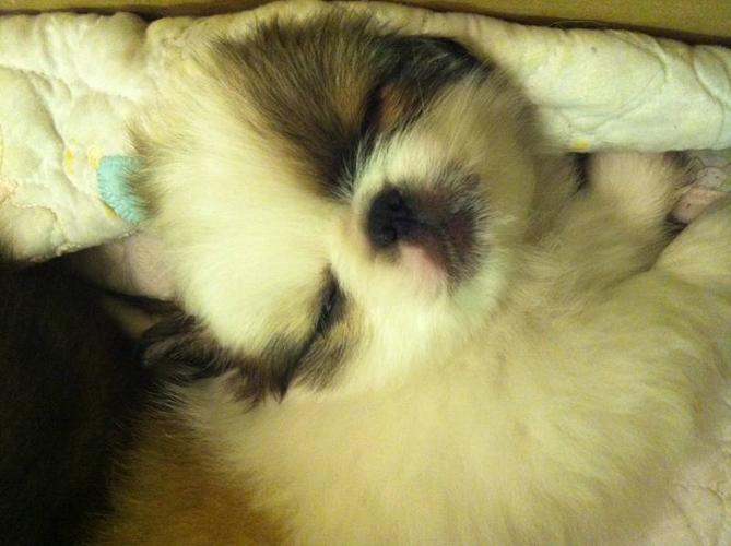 Female Pekingnese puppy looking for a good home