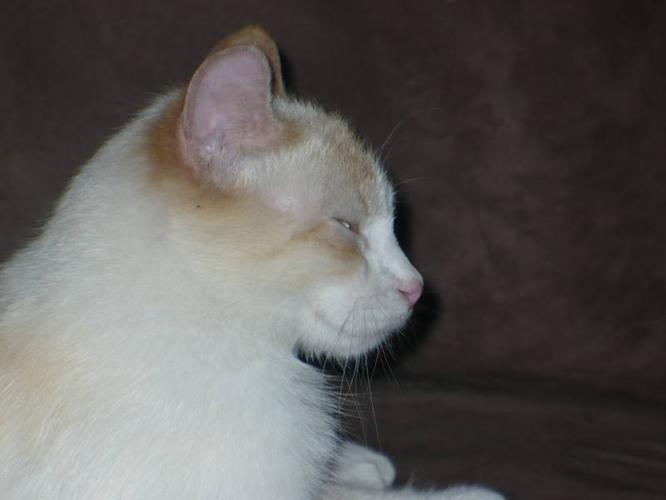 Flame Point Snowshoe Siamese