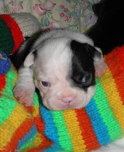 Frenchton (FROSTON) Puppies, French Bulldog Boston Terrier CKC for