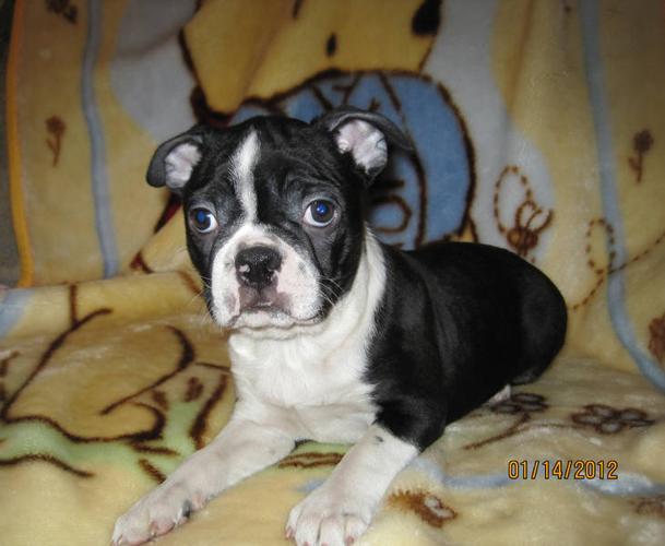 Frug Puppies For Sale In Calgary Alberta Nice Pets Online