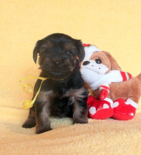 Fun-Loving & Affectionate! Non-shedding Yorkie Pups