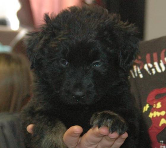 German Shepherd cross puppies FEMALE
