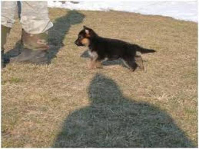 German Shepherd puppies REDUCED 4early buyers..coming in FEB !!