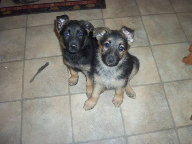 german shepherd puppies for sale in Elmsdale, Nova Scotia