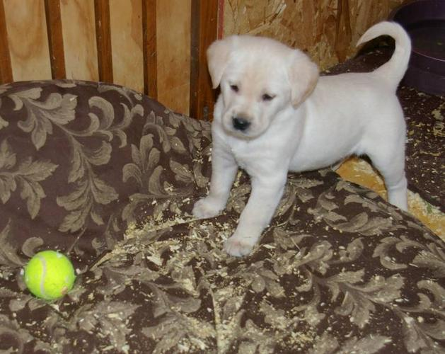 Golden Lab/Golden Retriever cross pups for sale