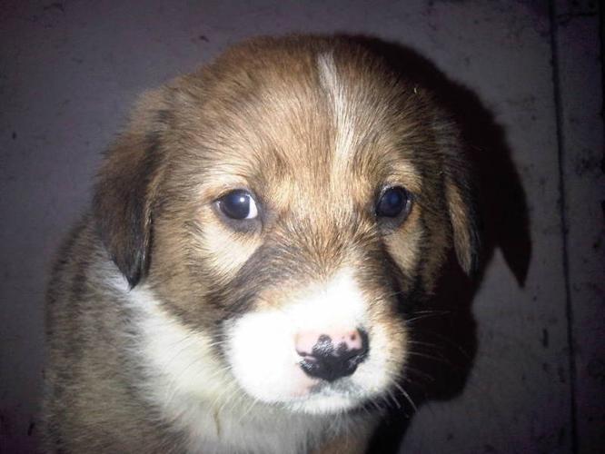 Golden Retriever, Border Collie X Puppy's