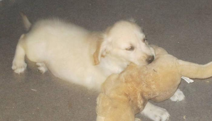 Golden Retriever puppies Ready to go 12 wks old
