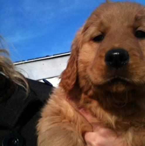 Golden Retriever pups - REDUCED PRICE must go ASAP