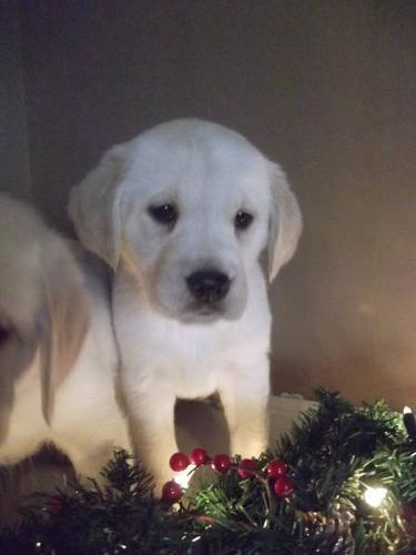 Golden Retriever X Lab Puppies For Sale In Springford Ontario